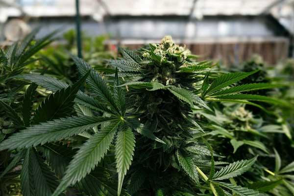 mitos sobre el cannabis