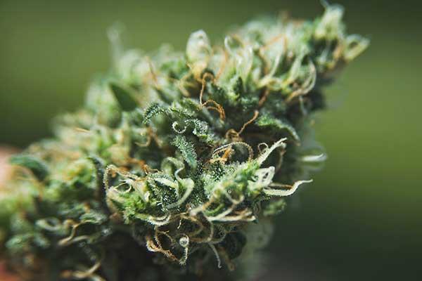 cannabis y el sistema inmune